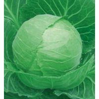Hybrid vegetable seed/Cabbage seed FST 9816