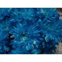 chrysanthemum blue printed