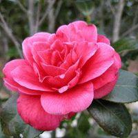 Camellia oil thumbnail image