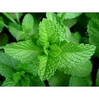 Mint Leaf Powder, Mentha