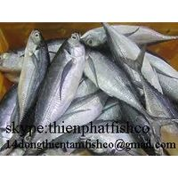 we sell horse mackerel with all size available