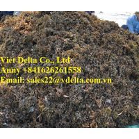 SARGASSUM SEAWEED THOUGHT AND POWDER WITH HIGH QUALITY / ANNY +841626261558