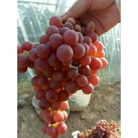 Seedless Grape,
