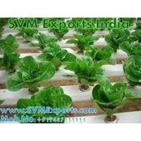 Gymnema Sylvestre Exporters From India thumbnail image