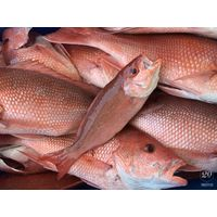 Quality Grade AA White Snapper Fish /Red Snapper Fish / Frozen King Snapper Fish for sale