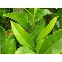 Green tea extact EGCG60%