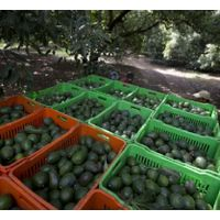 Farm Fresh Avocado thumbnail image