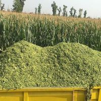 SOMETHING ABOUT VIETNAM CORN SILAGE