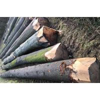 50 + cm Oak Saw Logs