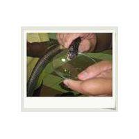 Sell Snake Venom/Poison(Agkistrodon,Agkistrodon acutus,Bungarus fasciatus)