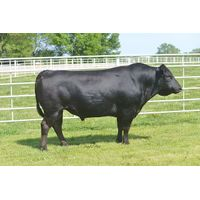 Beautiful A5 Wagyu Cows with Calves For Sale