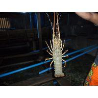 Life sea lobster shrimp