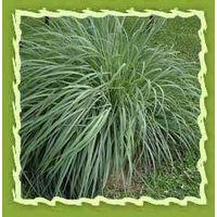 Lemongrass oil thumbnail image