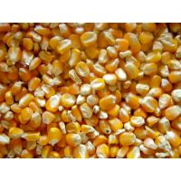 Fresh common cultivated Yellow maize corn for sale