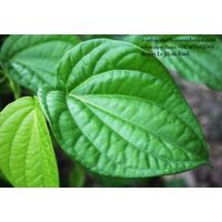 SELLING BETEL LEAF FROM VIET NAM thumbnail image