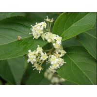 Tripterygium wilfordii extract Wilforlide A Triptolide