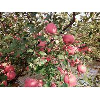 Fresh fruit apple thumbnail image