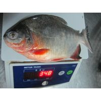 New seasom good quality Frozen Red Pomfret Fish pompano