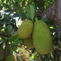 Green Jackfruit High Quality From Viet Nam Ms. Lani +84969331308 thumbnail image