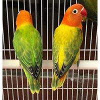 Love Birds, Lovebirds