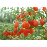 Goji Fruit Extract & Chinese wolfberry extract thumbnail image