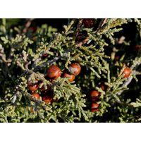 Juniperus phoenicea var. turbinata Extract thumbnail image