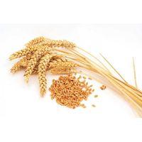 Wheat thumbnail image