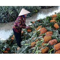 Fresh Pineapple - Best Taste with Best Price