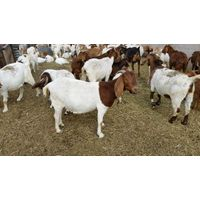 SHEEP, CATTLE , GOATS , AND BOERS GOAT and Australian Cashmere