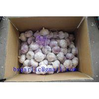 normal white garlic crop 2013