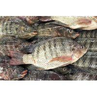 Tilapia Fish thumbnail image