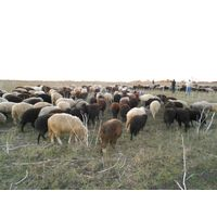 Livestock cattle and sheep