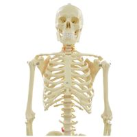 Artificial Human skeleton structure anatomy model
