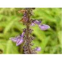 Coleus forskolin extracts thumbnail image