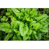 Spinach For Sale thumbnail image