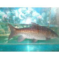 Mahseer fish