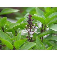Basil leaf, basil seed