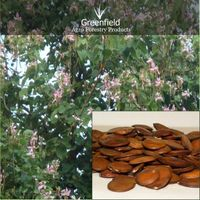 Kachnar Ornamental Tree Seeds ( Bauhinia variegate )