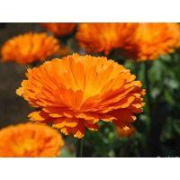 Marigold P.E. Lutein5%-90%