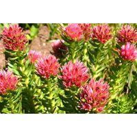 Rhodiola Rosea Plant Extract