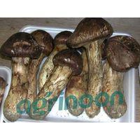 fresh matsutake mushroom