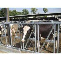 cattle headlock for dairy farm thumbnail image