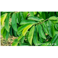Soursop Leaves thumbnail image