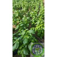 Green organic fresh basil leaves