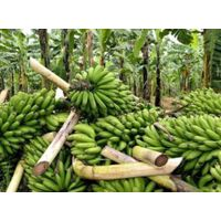 High quality fresh cavendish banana