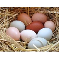 Fresh Chicken eggs, Parrot Eggs, Bird Eggs