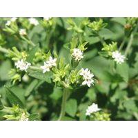 Stevia Leaf Extract/Stevia Leaf P.E.Stevioside 90%-98% HPLC,Rebaudioside A 40%-98%