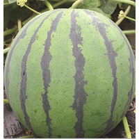 SHIJIA hybrid Green round watermelon seeds