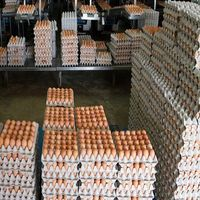 100% Brown Chicken Table Eggs thumbnail image