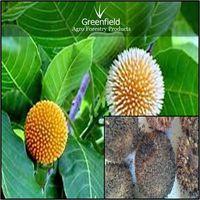 Kadam Ornamental Tree seeds ( Anthocephalus cadamba ) thumbnail image